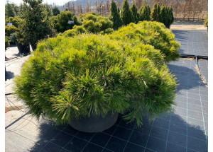 Pinus nigra Spielberg
