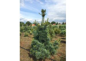 Pinus parviflora Bergman