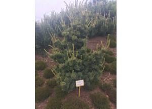 Pinus parviflora Chikuza Goten