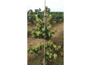 Pinus parviflora Fukai