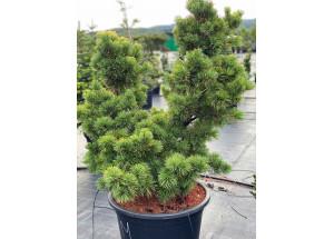 Pinus parviflora Fukuzumi