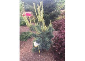 Pinus parviflora Gimbons Ideal