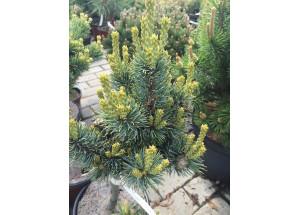 Pinus parviflora Kin Po