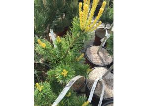Pinus parviflora Tenisu Kazu