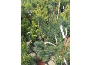 Pinus parviflora Venus