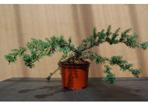 Podocarpus lawrencei Blue-Gem
