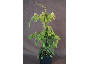 Taxus baccata Dovastoni Aurea