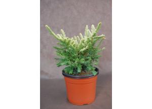 Taxus baccata Repens Aurea