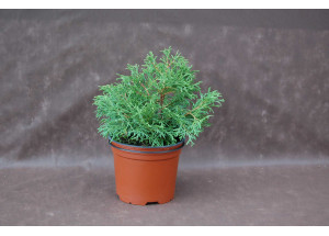Thuja occidentalis Caespitosa