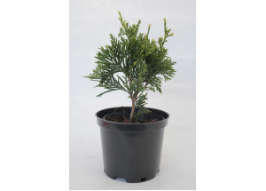 Thuja occidentalis Can Can