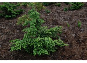 Tsuga diversifolia