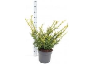 Taxus baccata Elegantissima