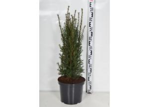 Taxus baccata Overeynderi
